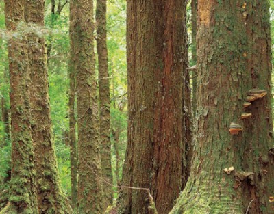 Forest scientists have found that a mature forest can store many hundreds of tonnes of carbon per hectare, in trees, understorey, leaf-litter and soil.