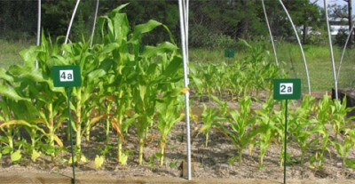 Both plots of corn were planted at the same time in identical soil, except that the corn at left grew from soil fed with extra carbon as biochar.