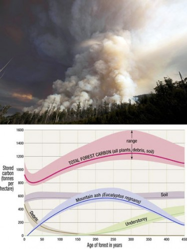 TOP This smoke plume, from a 100-hectare coupe in the Weld Valley about 10 days ago, contained about 20,000 tonnes of carbon, based on Forestry Tasmania research on carbon lost in regeneration burning at a site close by in 2001. BOTTOM This ANU graph by forest scientist Christopher Dean and others shows how carbon accumulates in a mature Eucalyptus regnans forest, reaching its peak, between 1100 and 1600 tonnes of carbon per hectare, after around 300 years. Less than half is taken for pulpwood or sawlog, and of that, less than five per cent of the carbon ends up in durable wood products. After a burn-off, only tree roots and some soil carbon remains. The rest is up in the air.