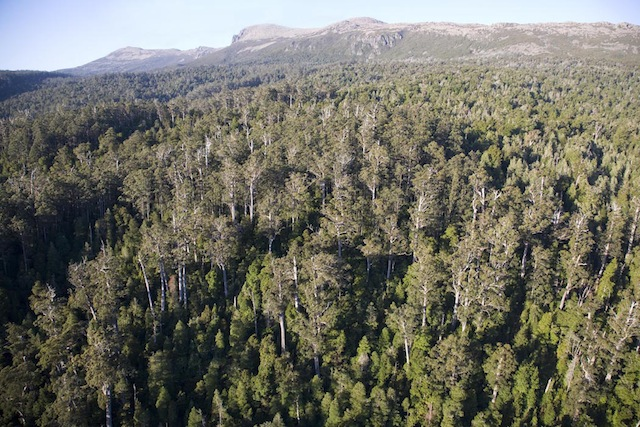 Mature forest in Tasmania's Weld Valley. Photo Rob Blakers