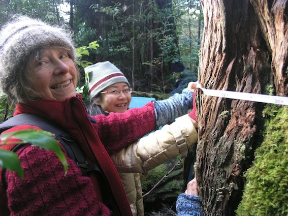 Volunteers Gill Gravel (left) and Ping Kuang take a breast-height measurement of a forest giant in the Florentine Valley as part of the Wilderness Society's carbon assessment program.